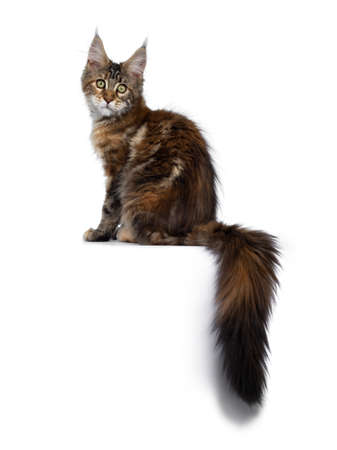 Cute tortie Maine Coon cat kitten sitting side ways. Looking at lens with mesmerizing green eyes. Isolated on white background. Tail hanging down. Stockfoto
