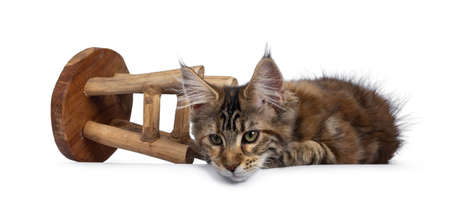 Cute tortie Maine Coon cat kitten laying down beside fallen over wooden chair. Looking beside lens with mesmerizing green eyes. Isolated on white background.