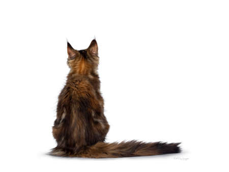 Cute tortie Maine Coon cat kitten sitting backwards. Looking up. Isolated on white background. Tail stretched next to body. Stockfoto