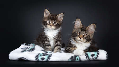Cute black tabby with white Maine Coon cat kitten, sitting with younger version of itself on soft blanket. Both loking beside camera facing front. Isolated on black background.
