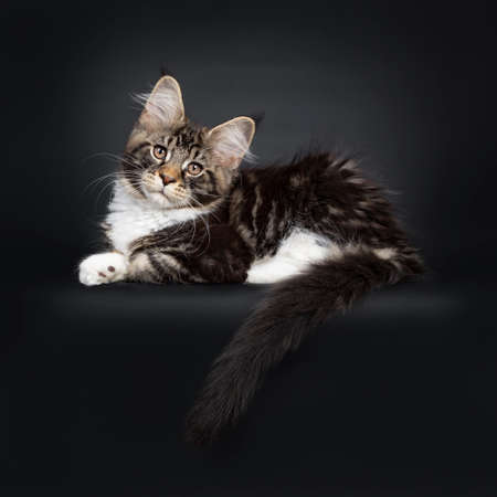 Cute black tabby with white Maine Coon cat kitten, laying side ways. Looking at camera with brown eyes facing front. Isolated on black background. Tail hanging over edge.