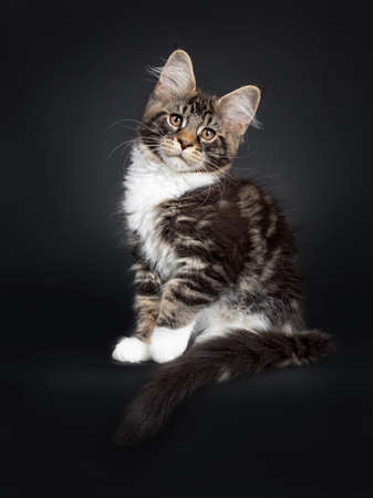 Cute black tabby with white Maine Coon cat kitten, sittingside ways. Looking at camera with brown eyes facing front. Isolated on black background. Tail hanging over edge. One paw lifted.