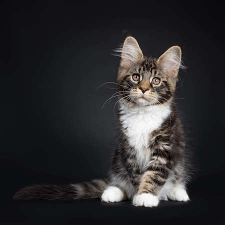 Cute black tabby with white Maine Coon cat kitten, sitting up facing front. Looking above camera with brown eyes. Isolated on black background. Tail stretched beside body.