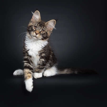Cute black tabby with white Maine Coon cat kitten, sitting up facing front. Looking above camera with brown eyes. Isolated on black background. Tail stretched beside body. One paws hanging over edge.