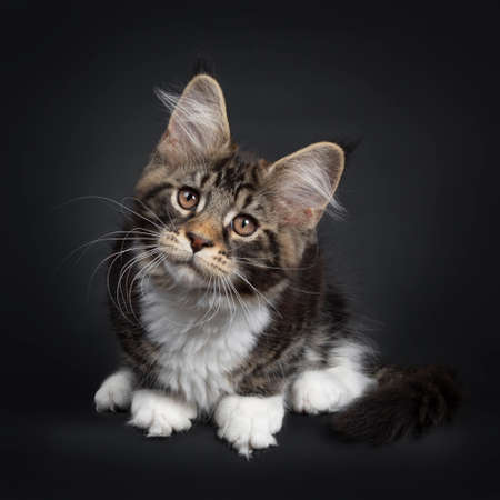Cute black tabby with white Maine Coon cat kitten, sitting down facing front. Looking above camera with brown eyes. Isolated on black background. Tail curled around body.