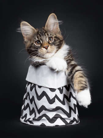 Cute black tabby with white Maine Coon cat kitten, sitting in black with white zigzag decorated bag facing front. Looking at camera with brown eyes. Isolated on black background. One paw hanging out of bag.