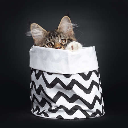Cute black tabby with white Maine Coon cat kitten, sitting in black with white zigzag decorated bag facing front. Looking at camera with brown eyes. Isolated on black background. One paw on edge of bag. Stockfoto