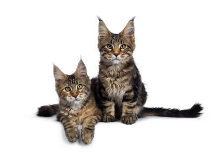 Duo of 2 black tabby and tortie Maine Coon cat kittens, sitting laying down, beside each other. looking straight at lens with green eyes. Tails beside body and paws hanging down from edge.