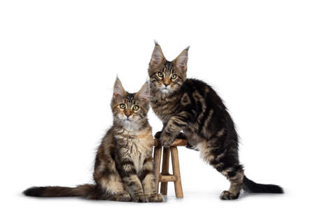 Duo of 2 black tabby and tortie Maine Coon cat kittens, beside each other with brown wooden stool. Looking straight at lens with green eyes. One climbing on stool. one sitting in front.