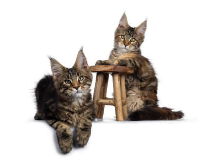 Duo of 2 black tabby and tortie Maine Coon cat kittens, beside each other with brown wooden stool. Looking straight at lens with green eyes. One with front paws on stool. one laying down in front. Stockfoto