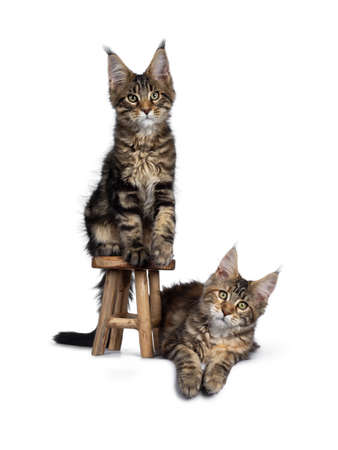 Duo of 2 black tabby and tortie Maine Coon cat kittens, beside each other with brown wooden stool. Looking straight at lens with green eyes. One sitting on stool. one laying down in at the side. Stockfoto