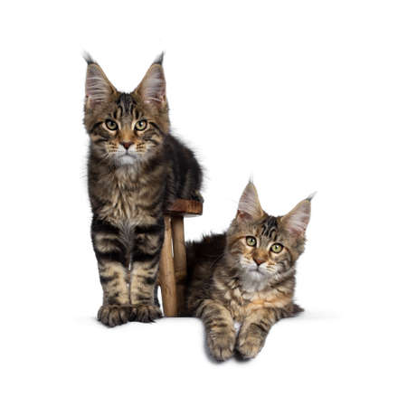 Duo of 2 black tabby and tortie Maine Coon cat kittens, beside each other with brown wooden stool. Looking straight at lens with green eyes. Onehanging down from stool. one laying down in at the side.