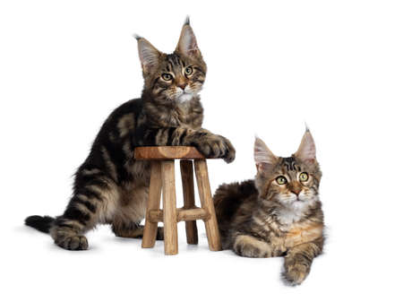 Duo of 2 black tabby and tortie Maine Coon cat kittens, beside each other with brown wooden stool. Looking beside lens with green eyes. One hanging on stool. one laying down in at the side.
