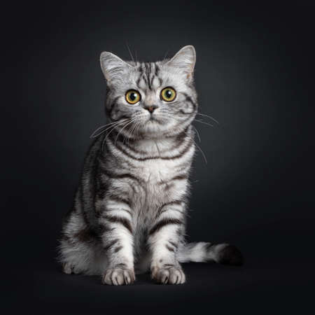Sweet black silver tabby British Shorthair kitten, sitting up facing front. Looking at camera with big round yellow  green eyes. Isolated on black background.