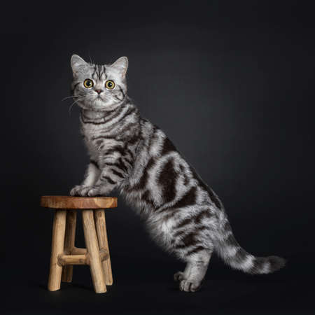 Sweet black silver tabby British Shorthair kitten, standing side ways with front paws on little wooden stool. Looking at camera with big round yellow  green eyes. Isolated on black background.