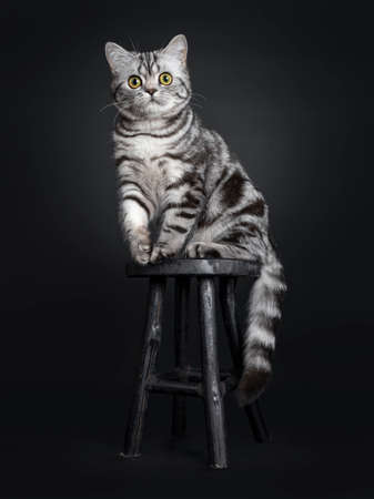 Sweet black silver tabby British Shorthair kitten, sitting side ways on little wooden stool. Looking at camera with big round yellow  green eyes. Isolated on black background. Stockfoto