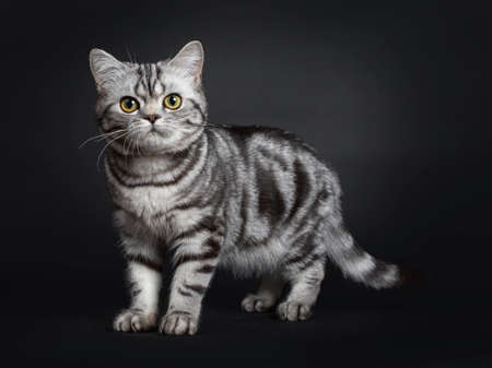 Sweet black silver tabby British Shorthair kitten, standing side ways. Looking at camera with big round yellow  green eyes. Isolated on black background. Stockfoto
