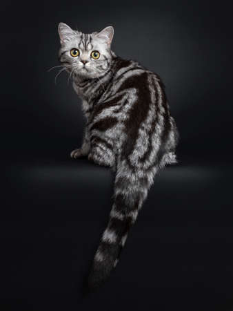 Sweet black silver tabby British Shorthair kitten, sitting backwards. Looking over shoulder to camera with big round yellow  green eyes. Isolated on black background.