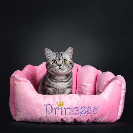 Sweet black silver tabby British Shorthair kitten, sitting in pink pluche basket. Looking at camera with big round yellow  green eyes. Isolated on black background. Stockfoto
