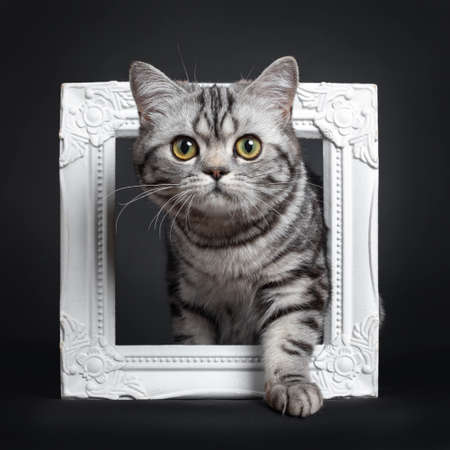 Sweet black silver tabby British Shorthair kitten, steppeing through white image frame Looking straight at camera with big round yellow  green eyes. Isolated on black background. Stockfoto