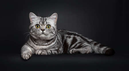 Sweet black silver tabby British Shorthair kitten, laying down side ways. Looking to camera with big round yellow  green eyes. Isolated on black background.