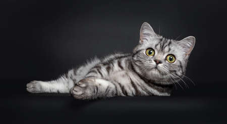 Sweet black silver tabby British Shorthair kitten, laying relaxed down side ways. Looking to camera with big round yellow  green eyes. Isolated on black background.