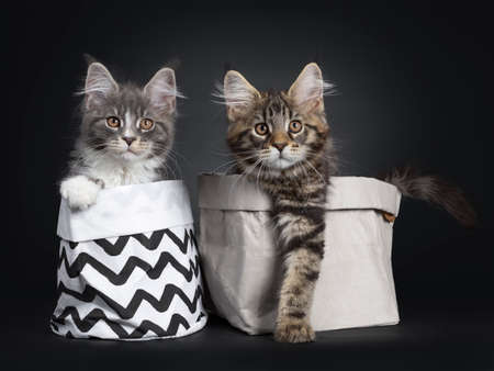 Adorable set of 2 Maine Coon cat kittens, both sitting in a paper bag. Looking beside camera with brown eyes. One with paw over edge, one on the edge of bag.