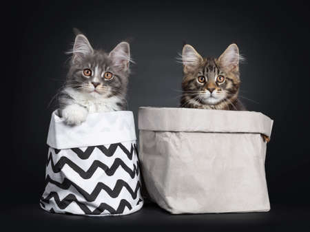 Adorable set of 2 Maine Coon cat kittens, both sitting in a paper bag. Looking at camera with brown eyes. One with paw on the edge of bag. Stockfoto