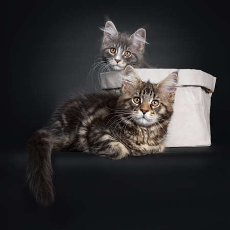 Adorable set of 2 Maine Coon cat kittens, one sitting in a paper bag. The other laying infront of the bag. Looking beside camera with brown eyes.  Tail hanging down from edge.