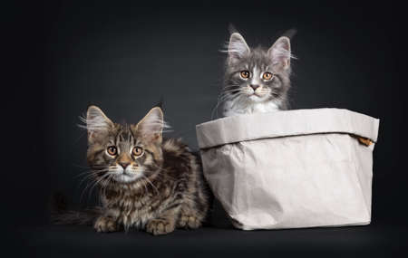 Adorable set of 2 Maine Coon cat kittens, one sitting in a paper bag. The other laying beside the bag. Looking beside camera with brown eyes. Stockfoto