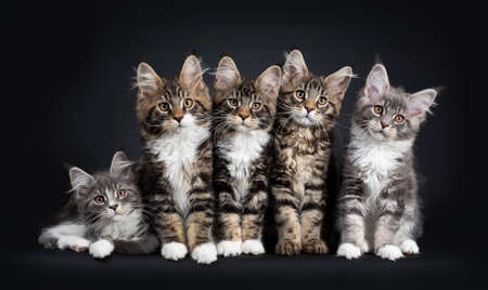 Five Maine Coon kittens sitting  laying down beside each other in a perfect row. Looking at camera with brown eyes. Isolated on a black background.
