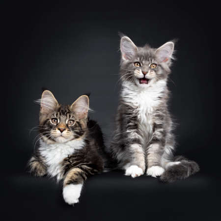 Two Maine Coon kittens sitting  laying down beside each other in a perfect row. Looking at camera with brown eyes. Isolated on a black background. One with open mouth talking.