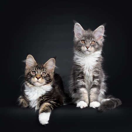 Two Maine Coon kittens sitting  laying down beside each other in a perfect row. Looking at camera with brown eyes. Isolated on a black background.