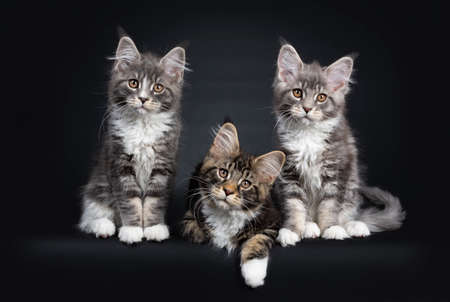 Three Maine Coon kittens sitting  laying down beside each other in a perfect row. Looking at camera with brown eyes. Isolated on a black background. Reklamní fotografie