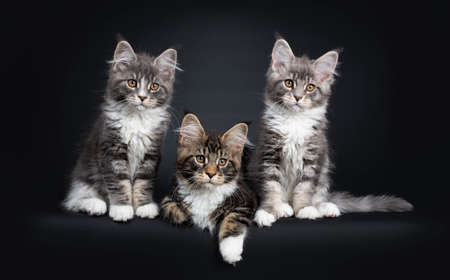 Three Maine Coon kittens sitting  laying down beside each other in a perfect row. Looking beside camera with brown eyes. Isolated on a black background.