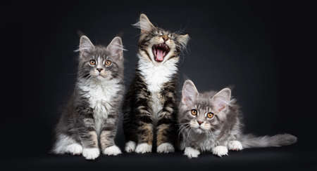Three Maine Coon kittens sitting  laying down beside each other in a perfect row. Looking at camera with brown eyes. Isolated on a black background. One yawning  screaming. Stockfoto