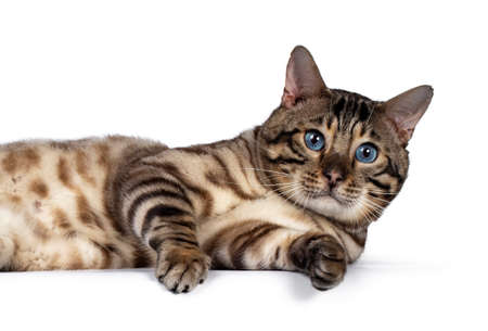 Head shot of gorgeous Snow Bengal, laying on its side. Looking at camera with deep blue eyes. Isolated on white background. Stockfoto