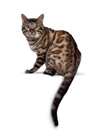 Gorgeous Snow Bengal, sitting backwards. Looking over shoulder at camera with deep blue eyes. Isolated on white background. Tail hanging down from edge. Stockfoto