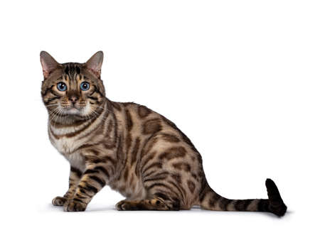 Gorgeous Snow Bengal, sitting side ways. Looking beside camera with deep blue eyes. Isolated on white background. Tail stretched behind body. Stockfoto