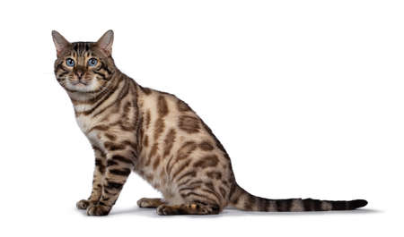 Gorgeous Snow Bengal, sitting side ways. Looking at camera with deep blue eyes. Isolated on white background. Tail stretched behind body.