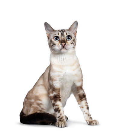 Cute Snow Bengal kitten, sitting side ways facing front. Looking above camera with light blue eyes. Isolated on white background. Tail curled around body.