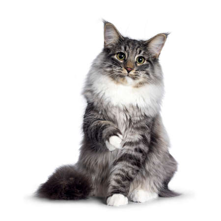 Cute Norwegian Forestcat youngster, sitting facing front. Looking at camera with green  yellow eyes. Isolated on white background. One paw playful in air. Stockfoto