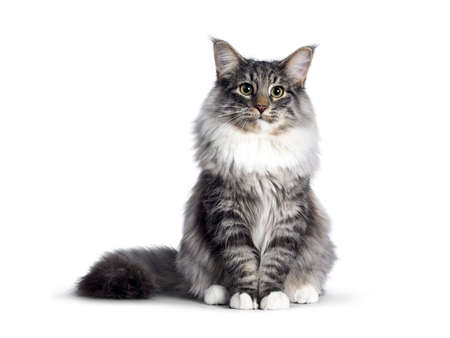 Cute Norwegian Forestcat youngster, sitting facing front. Looking at camera with green  yellow eyes. Isolated on white background. Tail stretched beside body.