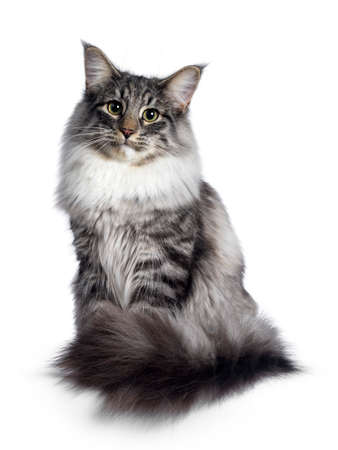 Cute Norwegian Forestcat youngster, sitting facing front. Looking at camera with green  yellow eyes. Isolated on white background. Tail curled around body.