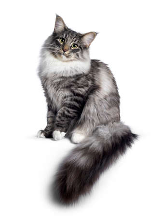 Cute Norwegian Forestcat youngster, sitting side ways. Looking at camera with green  yellow eyes. Isolated on white background. Big tail hanging from edge. Stockfoto