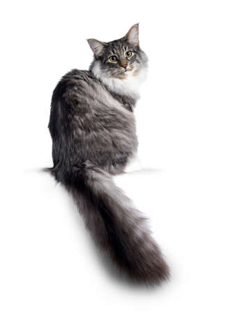 Cute Norwegian Forestcat youngster, sitting side ways  backwards. Looking over shoulder at lens with green  yellow eyes. Isolated on white background. Big tail hanging from edge.