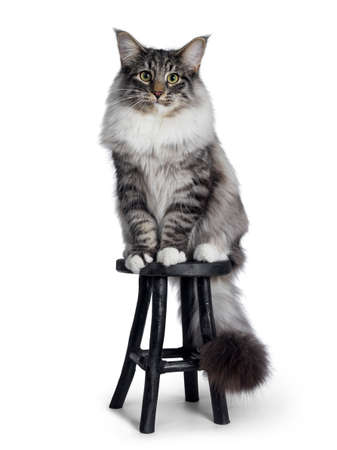 Cute Norwegian Forestcat youngster, sitting facing front on black wooden stool Looking at lens with green  yellow eyes. Isolated on white background. Big tail curled around chair.