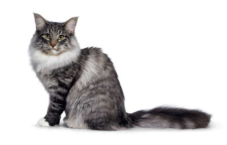 Cute Norwegian Forestcat youngster, sitting side way. Looking at lens with green  yellow eyes. Isolated on white background. Big tail behind body.