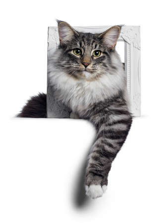 Cute Norwegian Forestcat youngster, laying down facing front through white photo frame. Looking at lens with green  yellow eyes. Isolated on white background. One paw hanging relaxed over edge. Stockfoto
