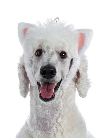 Portrait of cute white King Poodle wearing cat ear diadem. Looking at camera. Isolated on white background.